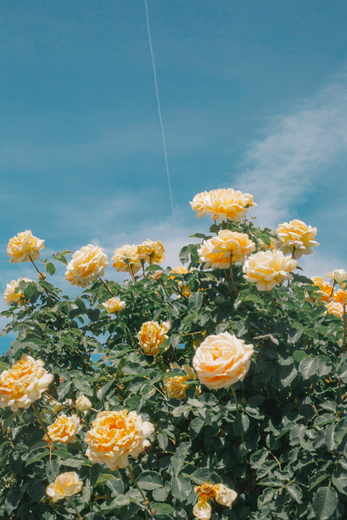 Burst of yellow roses on a bush against a blue sky with cloud wisps and a single vapor trail